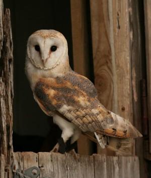 barn-owl1