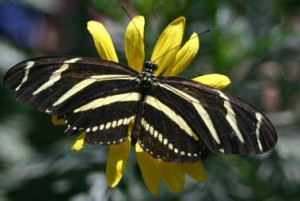 Zebra_longwing_butterfly1